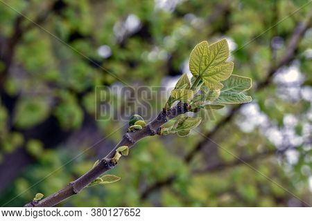 Fig Growing On The Branch. Fig Tree