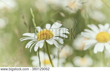 Nature Background With Wild Flowers Camomiles. Soft Focus. Close Up.