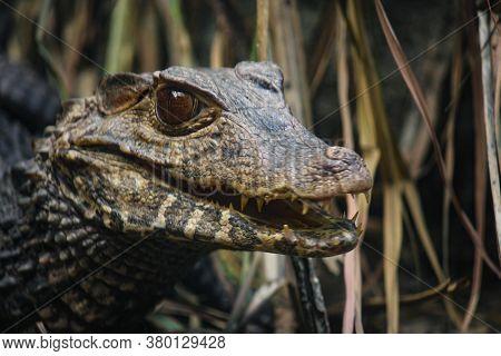 Closeup portrait of an aligator in his habitat