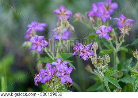 Sticky Geranium, A Flower Species Of Cranesbills Are Tiny Purple Flowers Growing In Yellowstone Nati