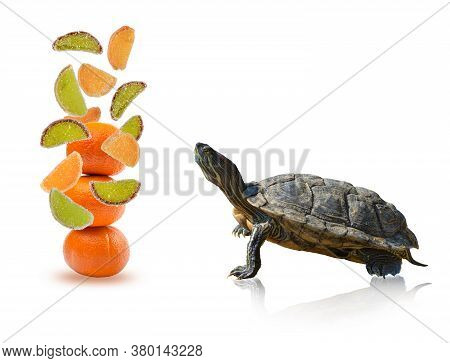 Red-eared Slider Turtle Trachemys Scripta Elegans Looks At Flying Marmalade Slices, Isolated On A Wh