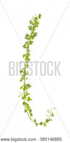 green ivy isolated on a white wall background.