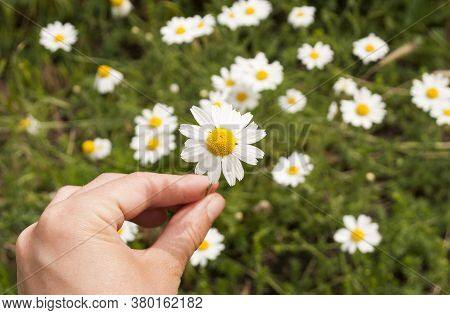 Chamomile In A Female Hand, Against The Background Of A Chamomile Field