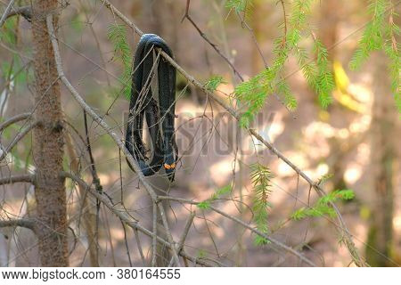 Black Died Snake Natrix Is Hanging On Pine Branch In Forest. Wildlife Of Animals In Wild Nature. Lon