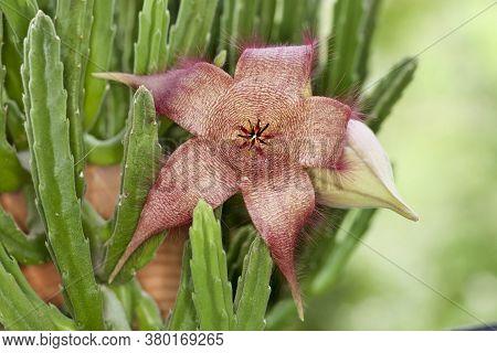 Carrion Plant , Stapelia Gigantea Succulent Plant Flower And Boud