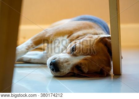 Beagle Dog Laying Down On The Floor Under The Chair At Home Waiting For His Owner Come Hone. Lonely