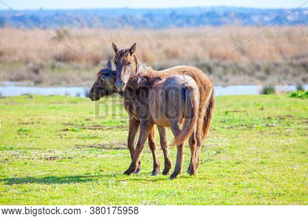 Young Wild Horses . Foals Of  Mustangs On The Meadow