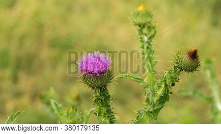 Beautiful But Prickly Thistle Growing In The Meadow, Summer