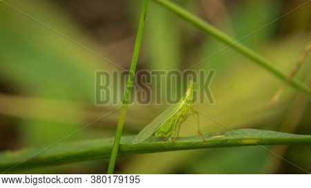 Unique Grasshopper Among Lush Grass In The Meadow