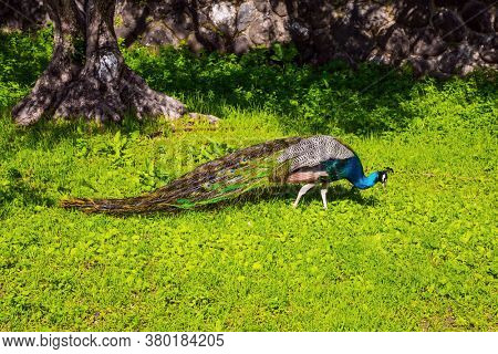 Gorgeous peacock walks in the green grass. Gorgeous green south park. Israel. Orthodox monastery of the Twelve Apostles. The concept of religious pilgrimage and photo tourism