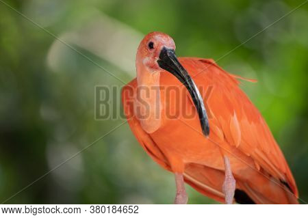 Beautiful Portrait Of A Scarlet Ibis With Unfocused Green Background In The Wild