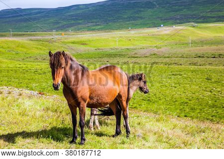 Iceland. Journey of dreams. Fabulously kind horses of a unique Icelandic breed. Golden summer sunset. Icelandic summer tundra. Ecological, active and photo tourism concept