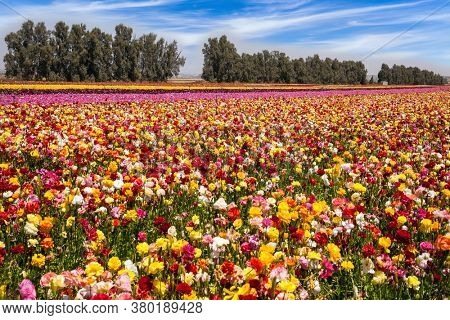 Beautiful sunny spring day. Multi-colored large garden buttercups. The southern Israel, a kibbutz field. Ecological, botanical and photo tourism concept