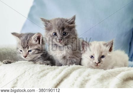 Many Kittens. Beautiful Fluffy 3 Kittens Lay On White Blanket Against A Blue Background. Gray White