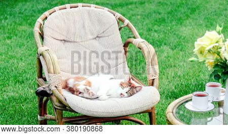 Relaxing White Ginger Cat Playing Laying On Chair In Garden Outside On Hot Summer Days. Garden Lands