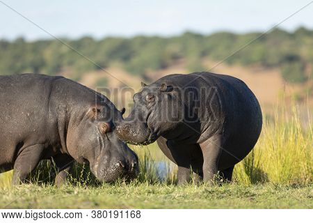 Two Hippo Grazing Standing Out Of Water Eating Grass In Yellow Sunset Light In Chobe River Botswana