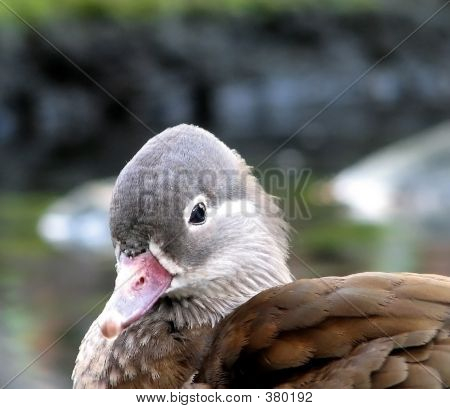 head shot of a duck poster