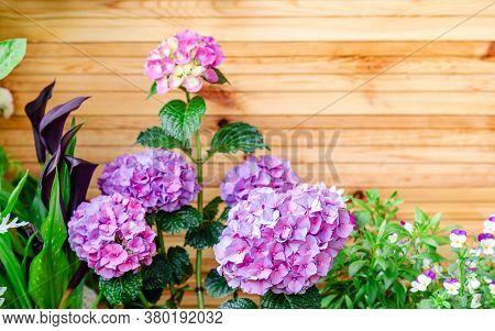 Hydrangea And Pansies On Background Of Wooden Fence. Hydrangea Macrophylla, Purple Hortensia Flower