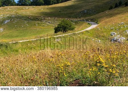 Flock Of Sheep On Pasture Near Secondary Countryside Road Through Mountain Durmitor National Park, M