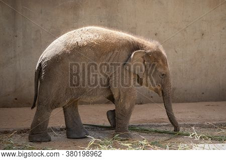 Young Asian Elephant Calf Walking On Sand In Captivity
