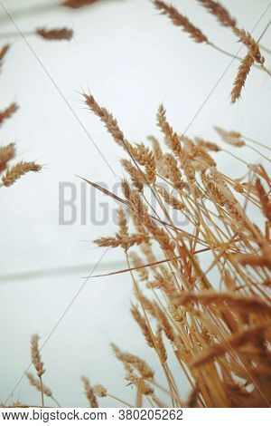 Photo Of Spikelets Of Wheat From Below Against The Sky