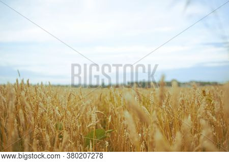 Wheat Field, Bright Colors, Daytime Sky Blue