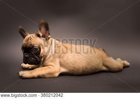 Studio Portrait Of Adorable French Bulldog Puppy Beige Color. Cute Little Puppy On A Grey Background