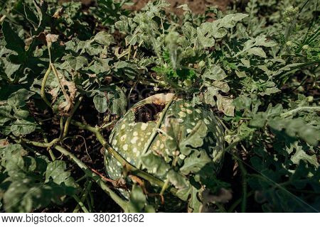Rotten Watermelon In A Watermelon Field.