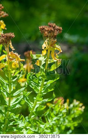 Leaves And Inflorescences Of The Healing Plant Rhodiola Rosea After Flowering