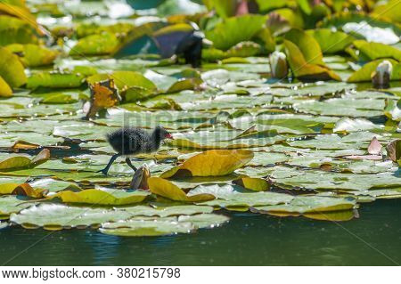 Newborn Moorhen Chick Wading Across A Lily Pond