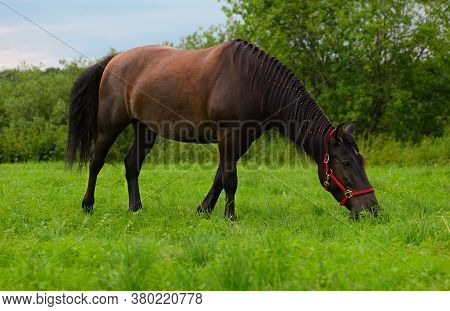 The Hungry Horse With The Red Halter And Its Plaited Mane Is Eating The Grass On The Pasture.