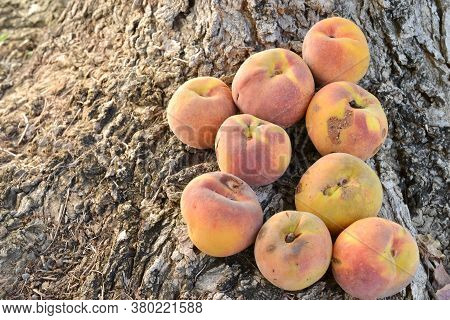 A Group Of Blemished Yellow Peaches On Tree Roots On The Ground