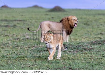 Male and female lions, panthera leo, in the green grass of the Masai Mara, Kenya, at dusk. Focus on the lioness who is walking away from the yawning male.