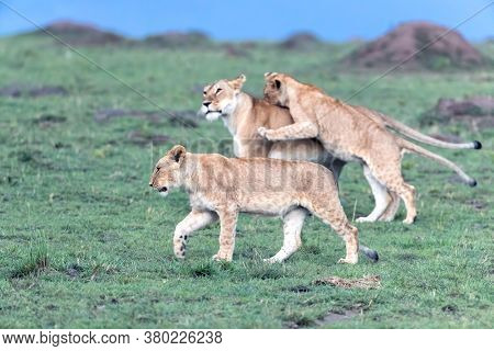 Mother lioness, panthera leo, with two older cubs, walking through the green grass of the Masai Mara, Kenya, at dusk. Focus on front cub with playful cub jumping on the mother in the background.
