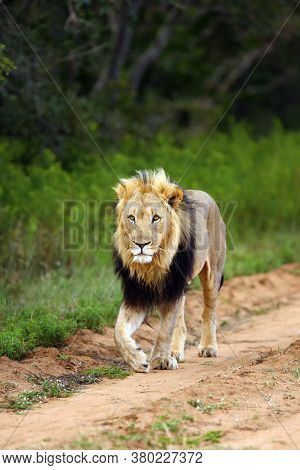 The Transvaal Lion Or African Lion (panthera Leo Krugeri) Or The Southeast African Lion A Large Male