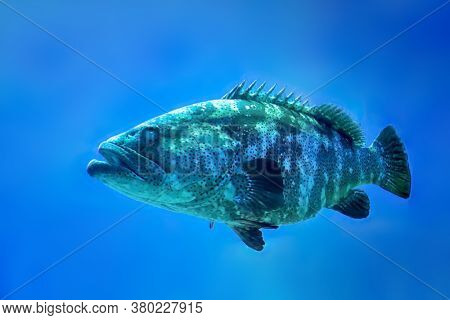 Giant grouper fish, epinephelus itajara, a saltwater fish that is critically endangered in the wild. Found mainly in shallow tropical coral reefs.