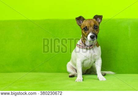 Funny Jack Russell Terrier Puppy On A Green Background. The Dog Is Sitting. Cute Dog