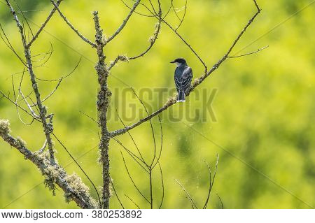 The Backside Of A Eastern Kingbird Sitting On A Branch With Webs Attached At The Wetlands On A Brigh