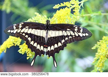 Giant Swallowtail Butterfly. Papilio Cresphontes On Green Leaves. Beautiful Insect. Big Butterfly Si