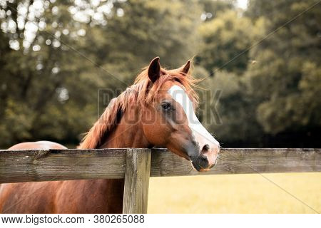Horse Behind A Fence. Thoroughbred Stallion Brown And White In A Pasture
