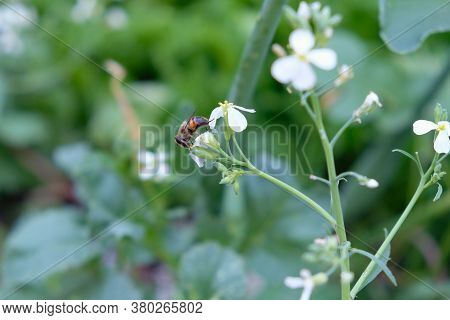 A Bee Is Sitting On A Radish Flower. White Radish Flowers In The Garden. A Bee Collects Pollen From