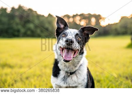Beautiful Border Collie Mix Outdoors At Sunset, Easy To Train Dog Breed