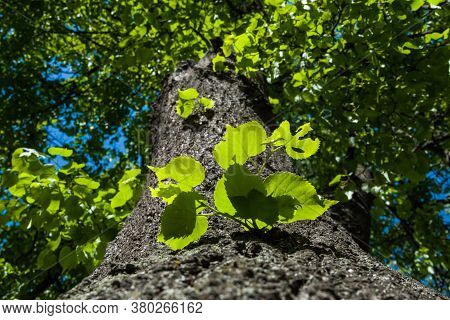New Life At Springtime Of Growing Leaves On A Tree Trunk Lighten With The Sun.