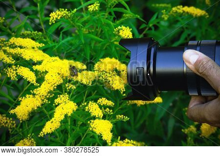 Camera Lense In Hand In Green Leaves And Yellow Flowers Taking Picture Of Bumblebee