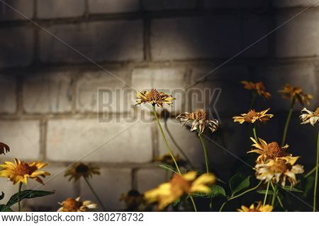 Yellow Gerber Daisies On Brick Wall Background