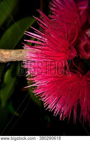 Its Common Names Include Red Watery Rose Apple Flower