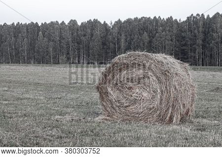 Round Bale Of Yellow Hay In The Field. Harvesting Hay For The Household