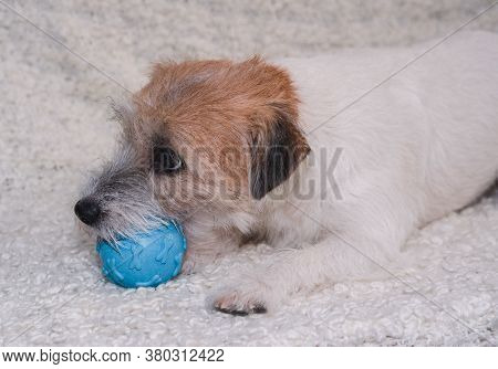 A Jack Russell Terrier Dog Chews A Blue Toy Ball. A Dog On A Light Background Lies With A Toy And Po