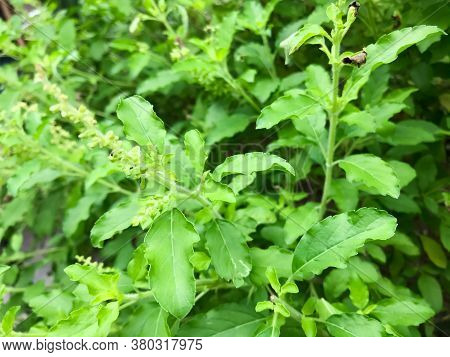 Basil Or Holy Basil Or Thai Basil Or Ocimum Or Sweet Basil Also Called Great Basil, Is A Culinary He