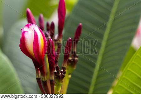 Background Texture Nature Colorful Red Frangipani Macro Photo Postcard Style In Summer Season